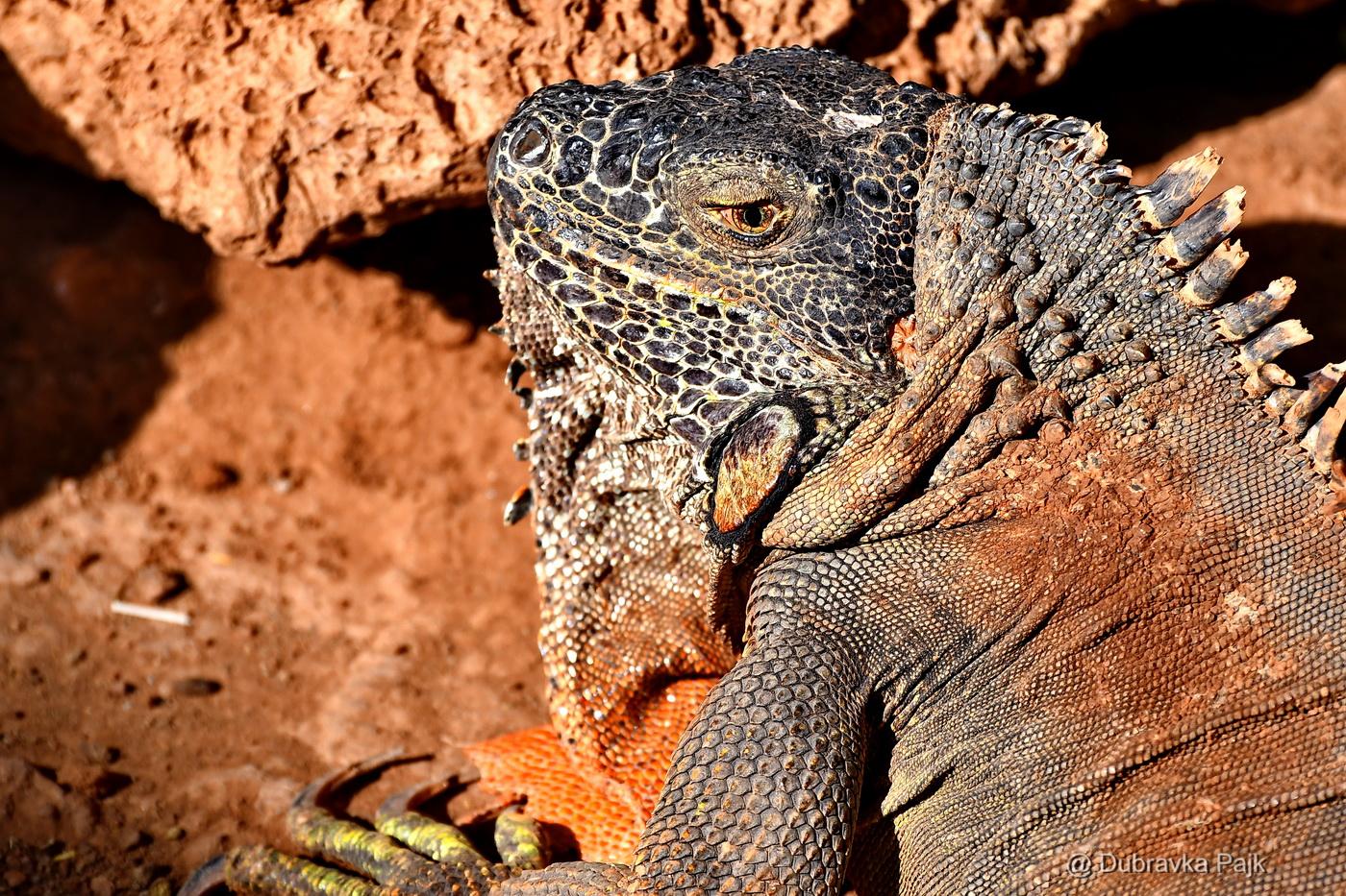 Tenerife, Canary Islands – Los Cristianos – Iguanas